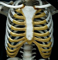 the ribs - the human skeletal system, Skeleton